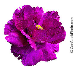 flower of red peony