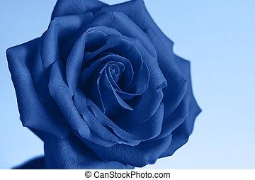 Flower of rose.