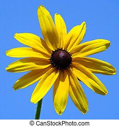 flower of Rudbeckia