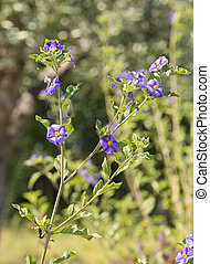 solanum - flower of solanum in a garden near la spezia