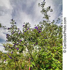 flower of solanum in a garden near la spezia
