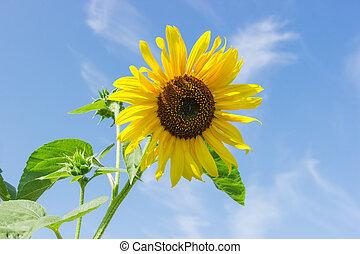 Flower of sunflower against of the sky