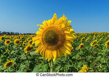 flower of sunflower closeup in field