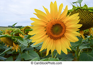 Flower of sunflower in a field