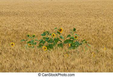 flower of sunflower in a field of wheat