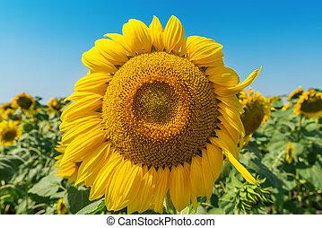 flower of sunflower in field closeup under wind