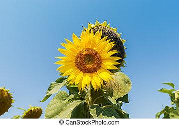 flower of sunflower in field