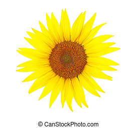 Flower of sunflower isolated on a white background, top view.