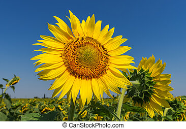 flower of sunflower on field and deep blue sky