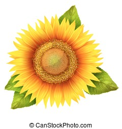 Flower of sunflower with leaves