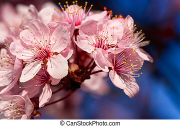 Flower of the almond-tree