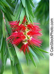 Flower of the Bottle Brush Tree