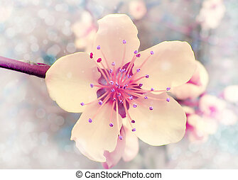 Flower of the cherry blossoms