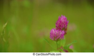 Flower of the clover field close up . Beautiful nature scene...