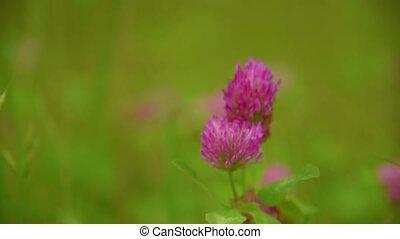 Flower of the clover