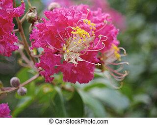 Flower of the Crape Myrtle