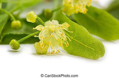 Flower of the linden closeup