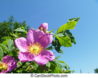Flower of the wild rose on turn blue background