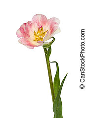 Flower of tulip, isolated on white background