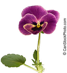 violet - Flower of violet with leaf (isolated on white)