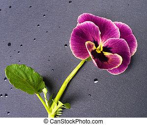 violet - Flower of violet with leaf on moisture paper...