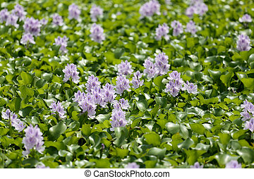 Flower of water hyacinth. - Flower of water hyacinth in the ...