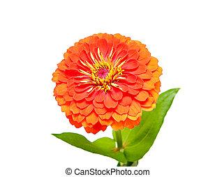 flower of zinnia