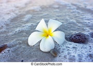 Flower on the beach - Temple tree flower lying on the beach