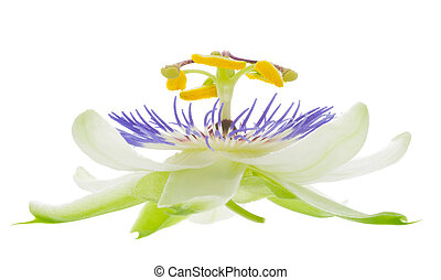 flower on the white, isolated