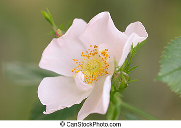flower on the wild rose in nature