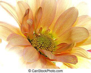 Flower - orange gerbera backlit by sunlight
