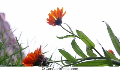 flower orange on the background of white sky bottom view of...
