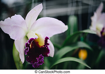 Flower (Orchidaceae, Orchid Flower) purple pink - Flower...