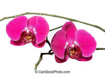 Orchidaceae Phalaenopsis - Flower Orchidaceae Phalaenopsis...