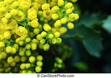 flower Oregon grape,Flowering Mahonia aquifolium Oregon-grape wild flower holly leaves, evergreen in spring time,Flowering bush, yellow flowers,Clusters of Mahonia yellow flowers closeup