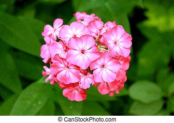 Phlox - flower Phlox against the green grass
