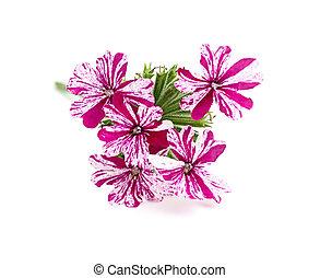 Flower pink verbena