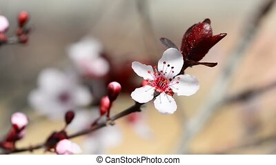 Flower plum tree