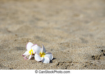 flower Plumeria  -  flowers Plumeria alba on the sandy