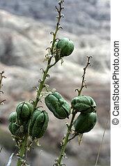 Flower pods badlands - flower seed pods at badlands south ...