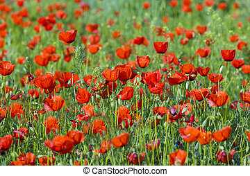 flower poppy nature meadow