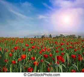 flower poppy nature meadow sun