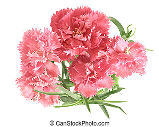 flower posy of carnations - posy of carnations isolated on...