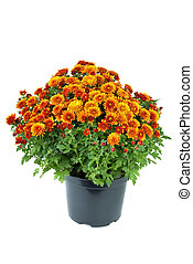 Flower pot with orange chrysanthemum flowers isolated on the white background