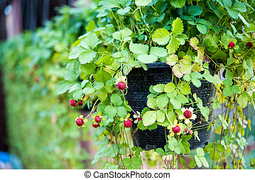Flower pot with strawberries weighs on the fence in the backyard farmer