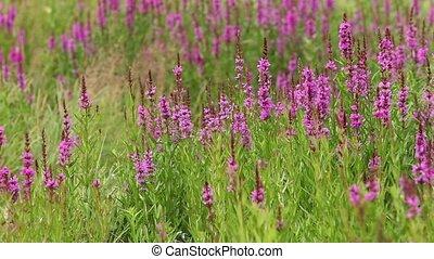 flower purple crybaby grass - flowering crybaby grass...