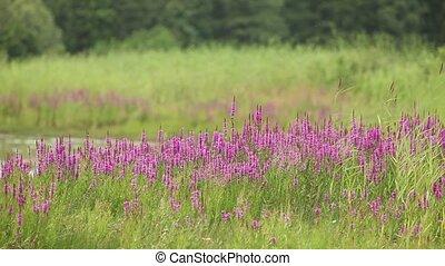 flower purple grass crybaby - crybaby grass flowers in wild...