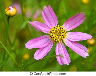 purplish red flower, purple and yellow, nature