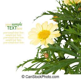 flower Pyrethrum daisy, on white background
