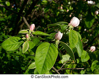 Flower Quince (Cydonia oblonga) - The flower of quince (...